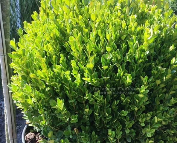 Самшит мелколистный Фолкнер Шар (Buxus microphilla Faulkner Boll) ФОТО Питомник растений Природа Priroda