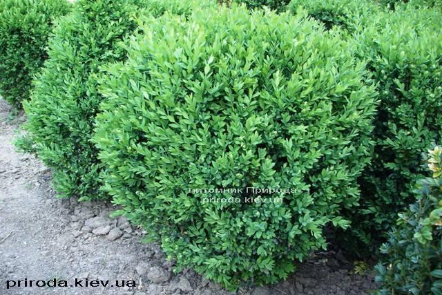 Самшит вечнозелёный Шар (Buxus sempervirens Boll) ФОТО Питомник растений Природа Priroda (18)