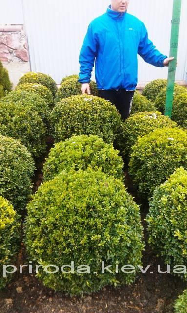 Самшит вечнозелёный Шар (Buxus sempervirens Boll) ФОТО Питомник растений Природа Priroda (19)