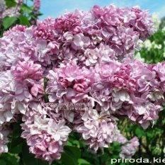Сирень обыкновенная Кэтрин Хавемейер (Syringa vulgaris Kathrine Havemeyer) ФОТО Питомник растений Природа Priroda