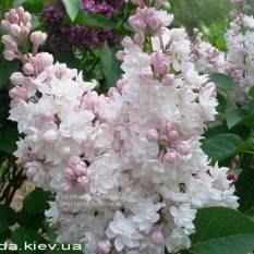 Сирень обыкновенная Красавица Москвы (Syringa vulgaris Krasawica Moskwy) ФОТО Питомник растений Природа Priroda (57)
