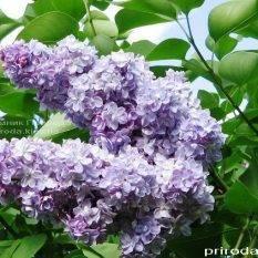 Сирень обыкновенная Мишель Бюхнер (Syringa vulgaris Michel Buchner) ФОТО Питомник растений Природа Priroda