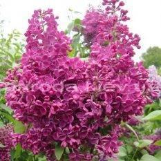 Сирень обыкновенная Реомюр (Syringa vulgaris Reomjur) ФОТО Питомник растений Природа Priroda (34)