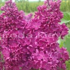 Сирень обыкновенная Реомюр (Syringa vulgaris Reomjur) ФОТО Питомник растений Природа Priroda (35)