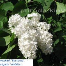 Сирень обыкновенная Весталка (Syringa vulgaris Vestalka) ФОТО Питомник растений Природа Priroda
