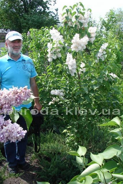 Сирень обыкновенная Весталка (Syringa vulgaris Vestalka) ФОТО Питомник растений Природа Priroda (39)
