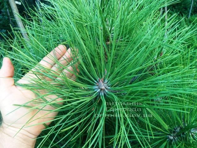 Сосна орегонская / жёлтая (Pinus ponderosa) ФОТО Питомник растений Природа Priroda (37)