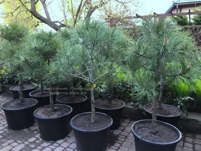 Сосна орегонская / жёлтая (Pinus ponderosa) ФОТО Питомник растений Природа Priroda (38)