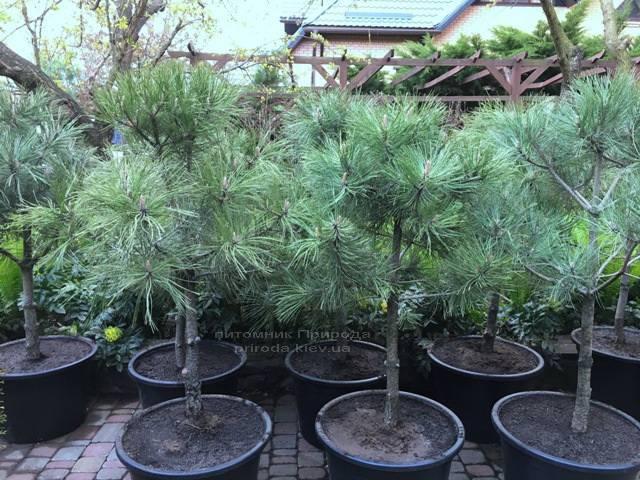 Сосна орегонская / жёлтая (Pinus ponderosa) ФОТО Питомник растений Природа Priroda (39)