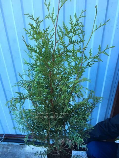 Туя западная Брабант (Thuja occidentalis Brabant) ФОТО Питомник растений Природа Priroda (17)