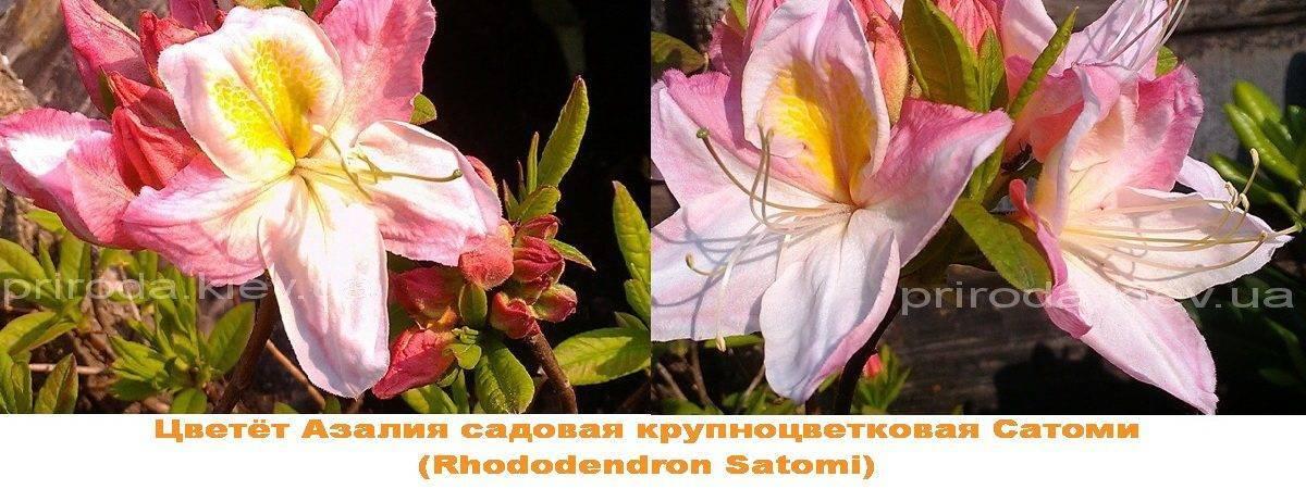 Азалия садовая крупноцветковая / Рододендрон листопадный Сатоми (Rhododendron Satomi) ФОТО Питомник растений Природа Priroda