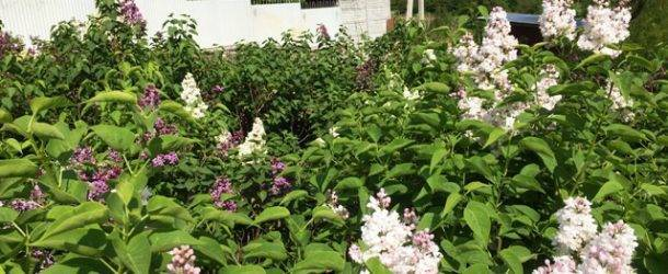 Цветёт Сирень в питомнике растений Природа Priroda (63)