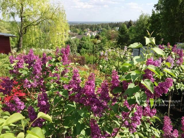 Цветёт Сирень в питомнике растений Природа Priroda