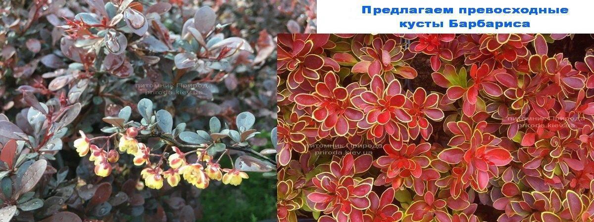 Барбарис в Питомнике растений Природа Priroda (62)