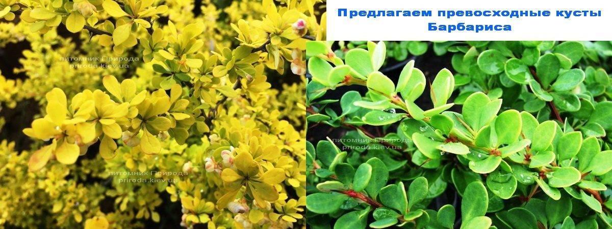 Барбарис в Питомнике растений Природа Priroda