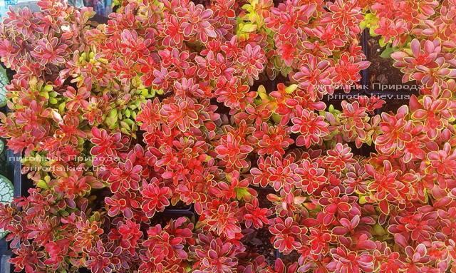 Барбарис Тунберга Адмирейшн (Berberis thunbergii Admiration) ФОТО Питомник растений Природа Priroda