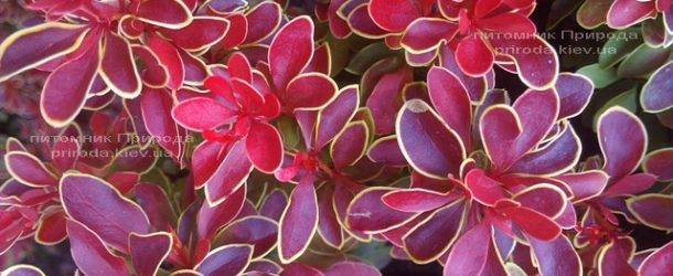 Барбарис Тунберга Адмирейшн (Berberis thunbergii Admiration) ФОТО Питомник растений Природа Priroda (20)