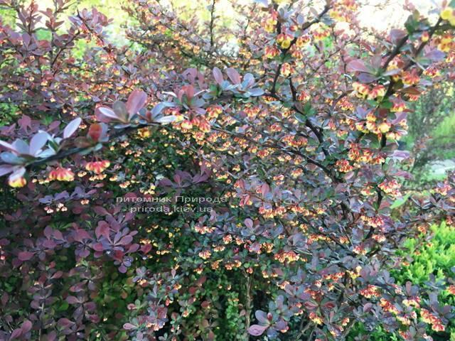 Барбарис Тунберга Атропурпуреа (Berberis thunbergii Atropurpurea) ФОТО Питомник растений Природа Priroda (4)