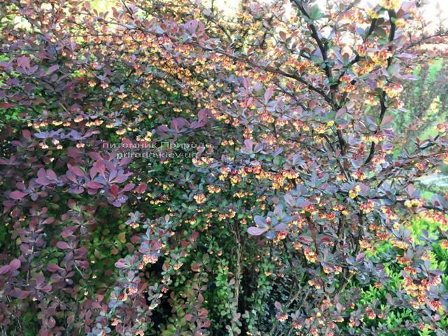 Барбарис Тунберга Атропурпуреа (Berberis thunbergii Atropurpurea) ФОТО Питомник растений Природа Priroda