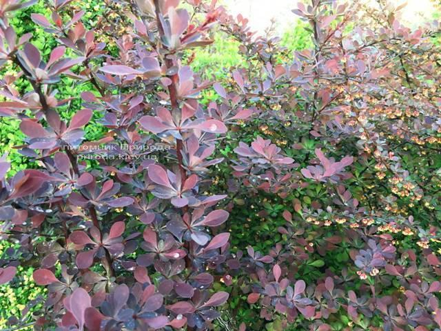 Барбарис Тунберга Атропурпуреа (Berberis thunbergii Atropurpurea) ФОТО Питомник растений Природа Priroda (7)