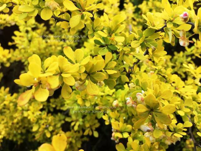 Барбарис Тунберга Ауреа (Berberis thunbergii Aurea) ФОТО Питомник растений Природа Priroda (33)