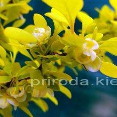 Барбарис Тунберга Ауреа (Berberis thunbergii Aurea) ФОТО Питомник растений Природа Priroda