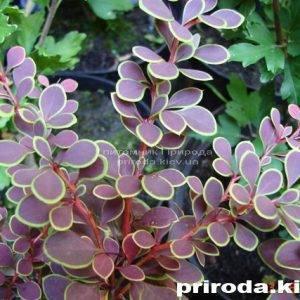 Барбарис Тунберга Голден Ринг (Berberis thunbergii Golden Ring) ФОТО Питомник растений Природа Priroda (25)