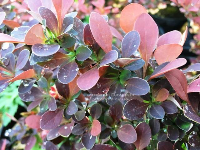 Барбарис Тунберга Голден Ринг (Berberis thunbergii Golden Ring) ФОТО Питомник растений Природа Priroda