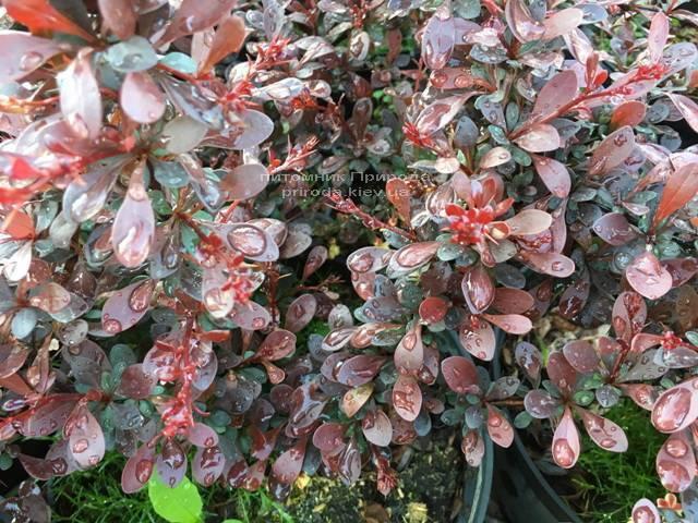 Барбарис Тунберга Дартс Рэд Лэди (Berberis thunbergii Dart's Red Lady) ФОТО Питомник растений Природа Priroda (45)