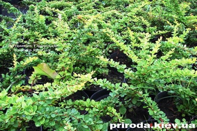 Барбарис Тунберга Грин Карпет (Berberis thunbergii Green Carpet) ФОТО Питомник растений Природа Priroda (11)