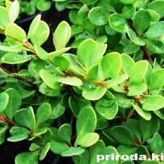 Барбарис Тунберга Грин Карпет (Berberis thunbergii Green Carpet) ФОТО Питомник растений Природа Priroda