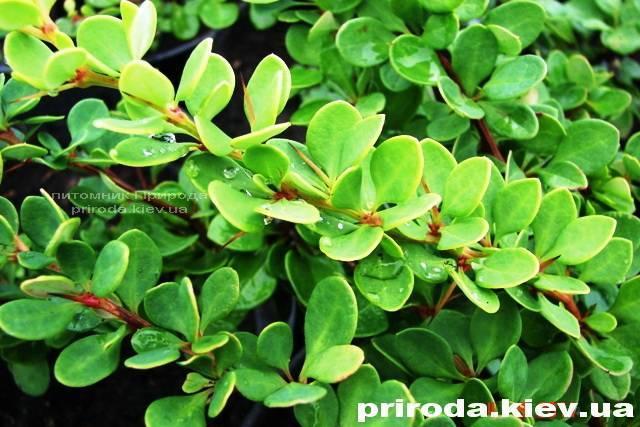 Барбарис Тунберга Грин Карпет (Berberis thunbergii Green Carpet) ФОТО Питомник растений Природа Priroda (12)