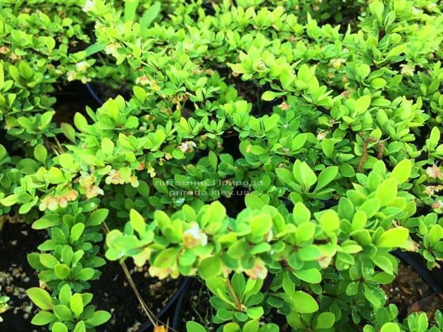 Барбарис Тунберга Грин Карпет (Berberis thunbergii Green Carpet) ФОТО Питомник растений Природа Priroda (13)