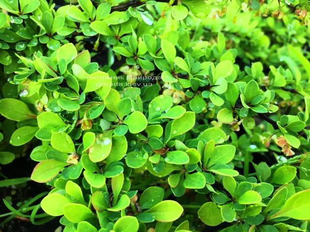 Барбарис Тунберга Грин Карпет (Berberis thunbergii Green Carpet) ФОТО Питомник растений Природа Priroda (14)