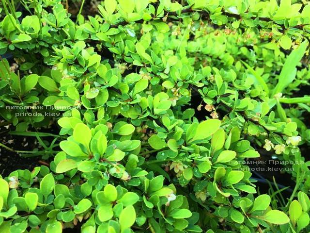 Барбарис Тунберга Грин Карпет (Berberis thunbergii Green Carpet) ФОТО Питомник растений Природа Priroda (15)