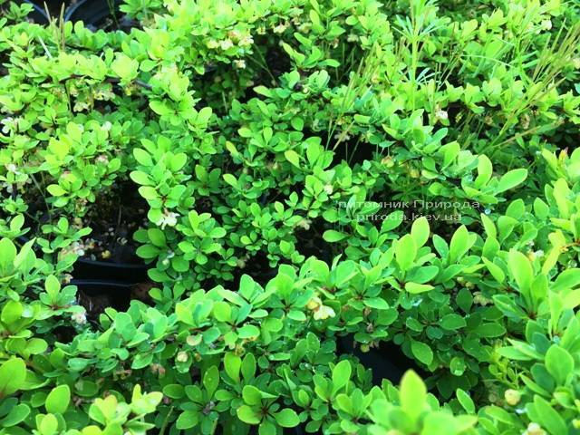 Барбарис Тунберга Грин Карпет (Berberis thunbergii Green Carpet) ФОТО Питомник растений Природа Priroda (16)
