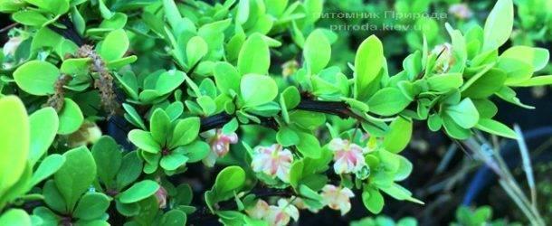 Барбарис Тунберга Грин Карпет (Berberis thunbergii Green Carpet) ФОТО Питомник растений Природа Priroda (17)