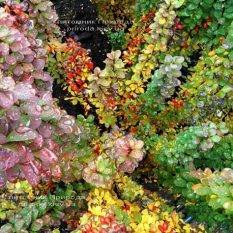 Барбарис Тунберга Эректа (Berberis thunbergii Erecta) ФОТО Питомник растений Природа Priroda
