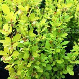 Барбарис Тунберга Мария (Berberis thunbergii Maria) ФОТО Питомник растений Природа Priroda (36)