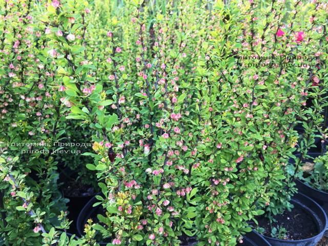 Барбарис Тунберга Паувау/Поувов (Berberis Thunbergii Powwow) ФОТО Питомник растений Природа Priroda (58)