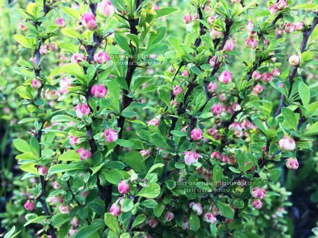 Барбарис Тунберга Паувау/Поувов (Berberis Thunbergii Powwow) ФОТО Питомник растений Природа Priroda