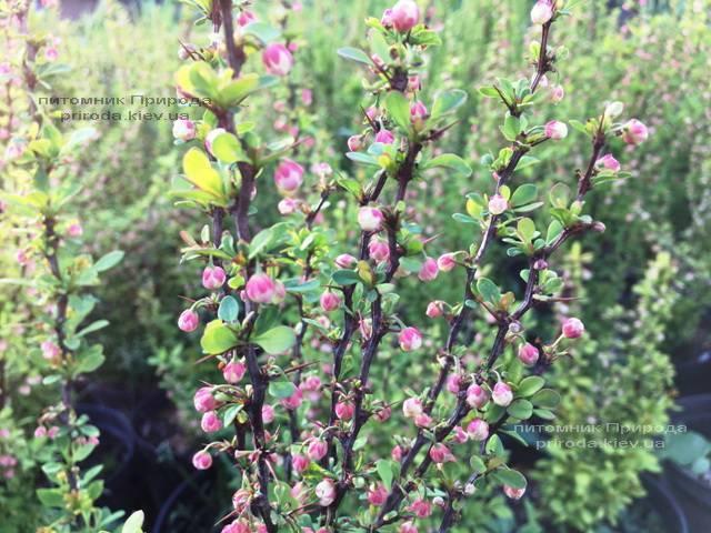 Барбарис Тунберга Паувау/Поувов (Berberis Thunbergii Powwow) ФОТО Питомник растений Природа Priroda (61)