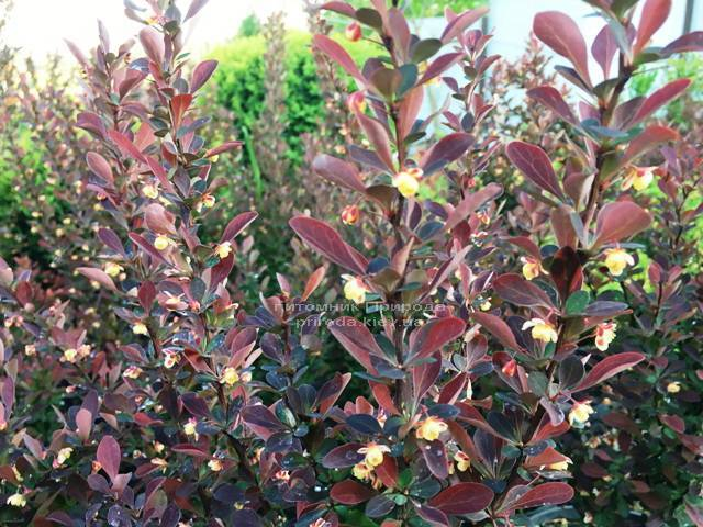 Барбарис Тунберга Рэд Пиллар (Berberis thunbergii Red Pillar) ФОТО Питомник растений Природа Priroda (41)
