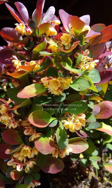 Барбарис Тунберга Рэд Пиллар (Berberis thunbergii Red Pillar) ФОТО Питомник растений Природа Priroda (43)