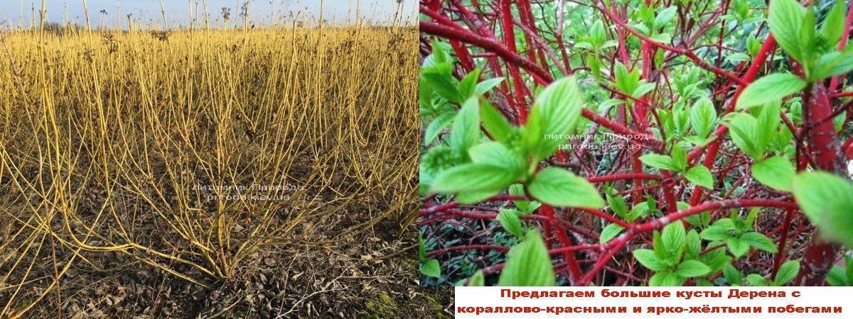 Дерен ФОТО Питомник растений Природа Priroda