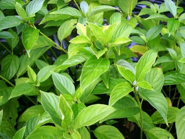 Дерен отпрысковый Флавирамеа (Cornus stolonifera Flaviramea) ФОТО Питомник растений Природа Priroda