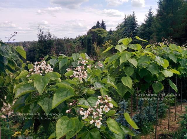 Катальпа великолепная / прекрасная (Catalpa spesiosa) ФОТО Питомник растений Природа (Priroda) (5)