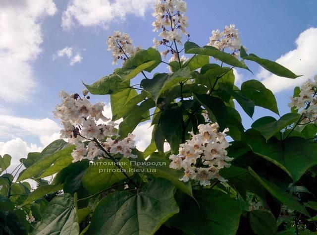 Катальпа великолепная / прекрасная (Catalpa spesiosa) ФОТО Питомник растений Природа (Priroda) (14)
