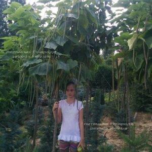 Катальпа великолепная / прекрасная (Catalpa spesiosa) ФОТО Питомник растений Природа (Priroda) (16)