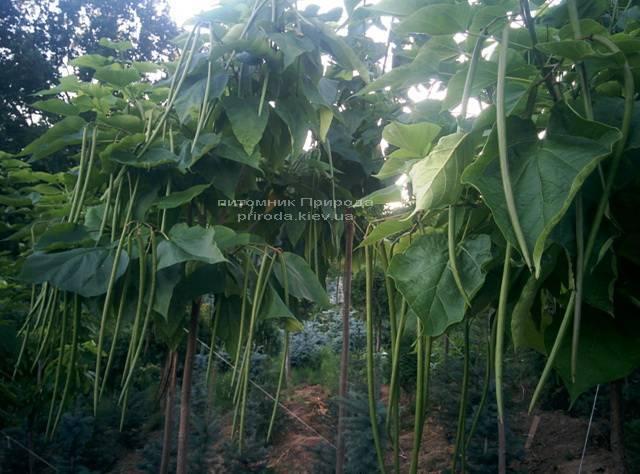 Катальпа великолепная / прекрасная (Catalpa spesiosa) ФОТО Питомник растений Природа (Priroda) (6)